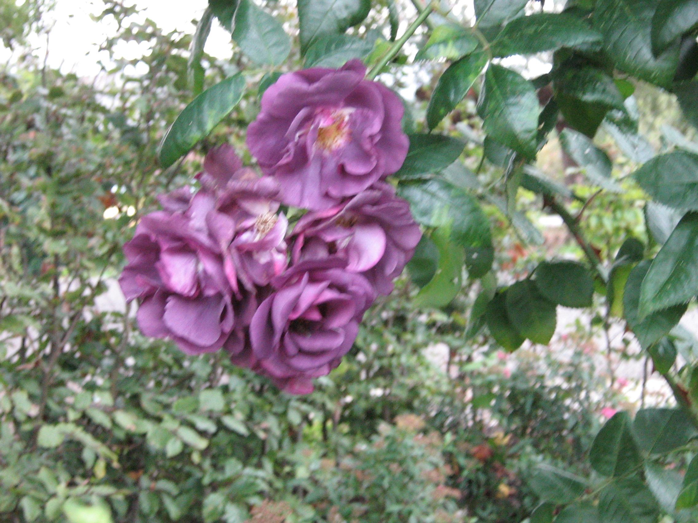 Hoge heesterroos Rhapsody in blue, echt paars, doorbloeiend en geurend.